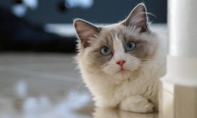 How long can you leave a Ragdoll cat alone