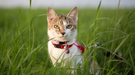 How to Train a Cat to Walk on a Leash Without Stress or Fear