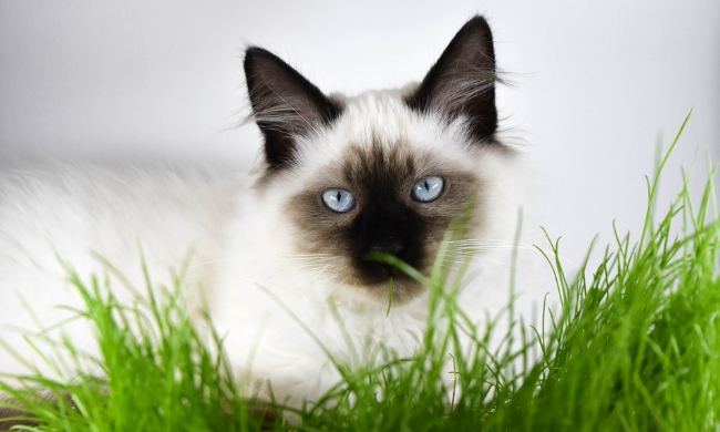 Should Indoor Cats Eat Grass & Do They Even Need It?