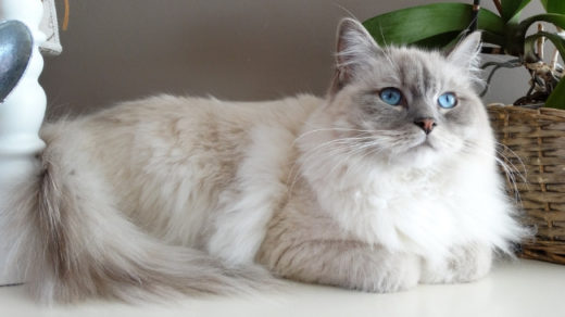 Why is a Ragdoll an indoor cat