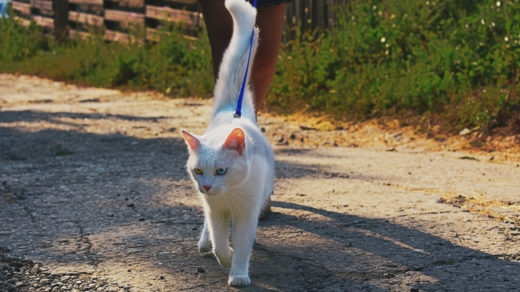 15 Cat Breeds You Can Walk On a Leash