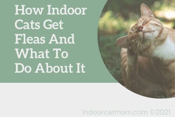 How indoor cats get fleas and what do do about it